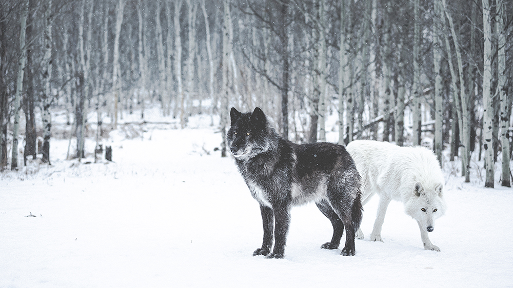 Pair of Wolves PS (1000px Wide)